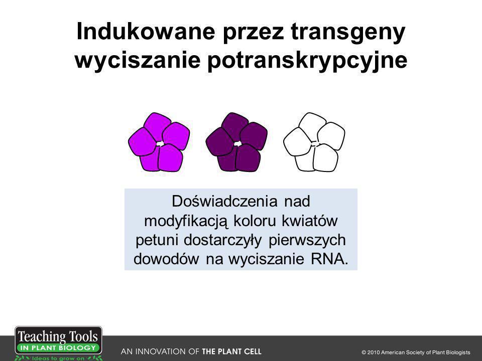 Indukowane przez transgeny wyciszanie potranskrypcyjne Doświadczenia nad modyfikacją koloru kwiatów petuni dostarczyły pierwszych dowodów na wyciszani