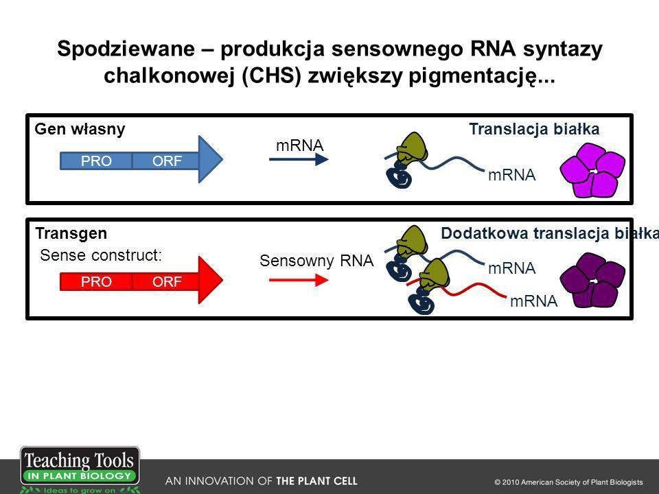 Spodziewane – produkcja sensownego RNA syntazy chalkonowej (CHS) zwiększy pigmentację... Sensowny RNA Sense construct: PROORF Gen własny mRNA Transgen