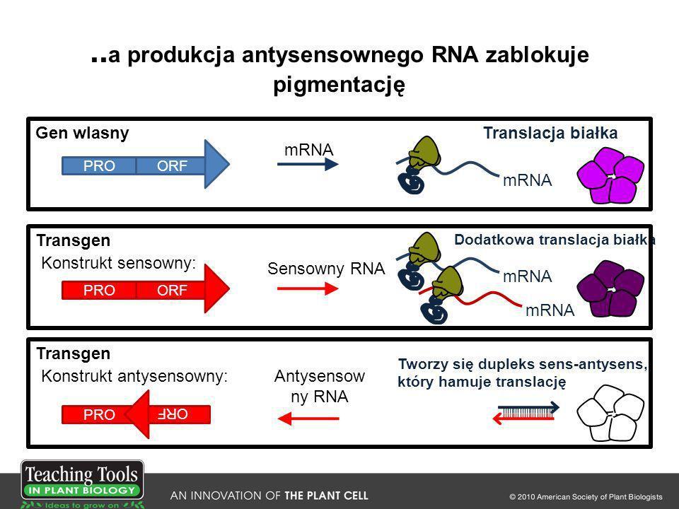 .. a produkcja antysensownego RNA zablokuje pigmentację Sensowny RNA Antysensow ny RNA Konstrukt sensowny: PROORF Gen wlasny mRNA Transgen PROORF mRNA
