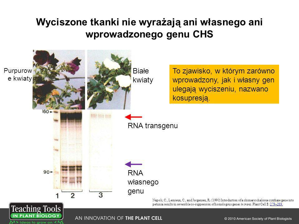 Wyciszone tkanki nie wyrażają ani własnego ani wprowadzonego genu CHS Napoli, C., Lemieux, C., and Jorgensen, R. (1990) Introduction of a chimeric cha