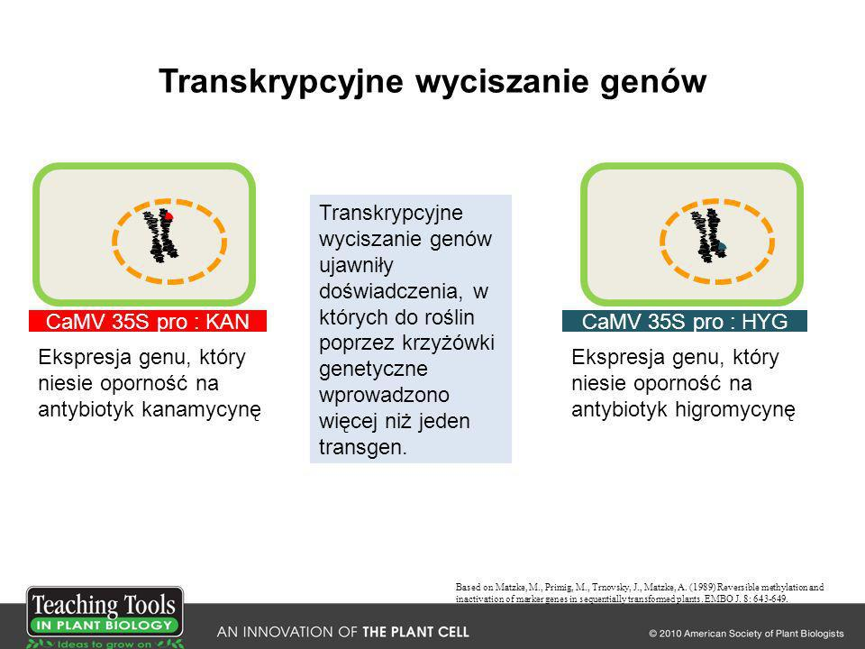 Transkrypcyjne wyciszanie genów Based on Matzke, M., Primig, M., Trnovsky, J., Matzke, A. (1989) Reversible methylation and inactivation of marker gen