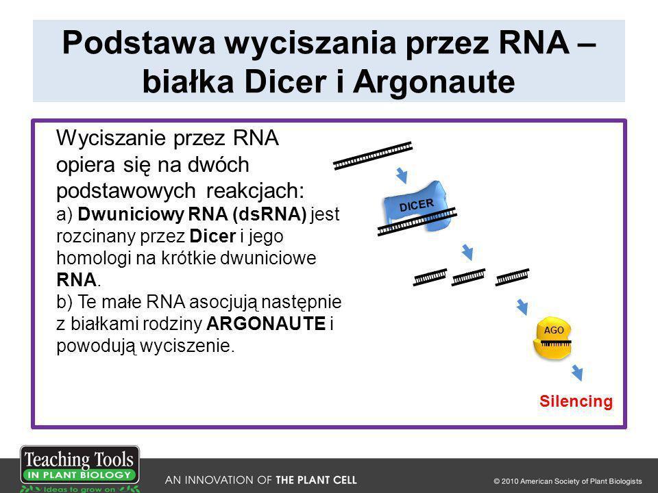 Mutanty w wytwarzaniu siRNA są bardziej podatne na infekcje wirusowe From Deleris, A., Gallego-Bartolome, J., Bao, J., Kasschau, K., Carrington, J.C., and Voinnet, O.