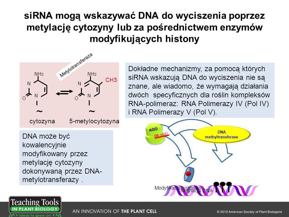 siRNA mogą wskazywać DNA do wyciszenia poprzez metylację cytozyny lub za pośrednictwem enzymów modyfikujących histony O N NH 2 N ~ O N N ~ CH3 cytozyn