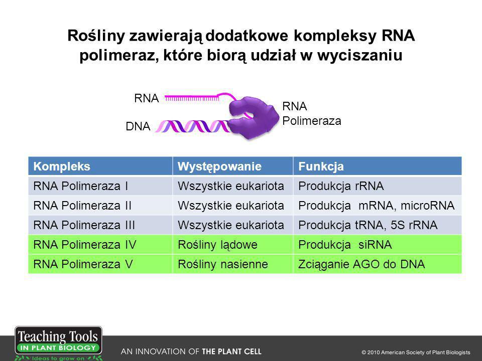 Rośliny zawierają dodatkowe kompleksy RNA polimeraz, które biorą udział w wyciszaniu KompleksWystępowanieFunkcja RNA Polimeraza IWszystkie eukariotaPr
