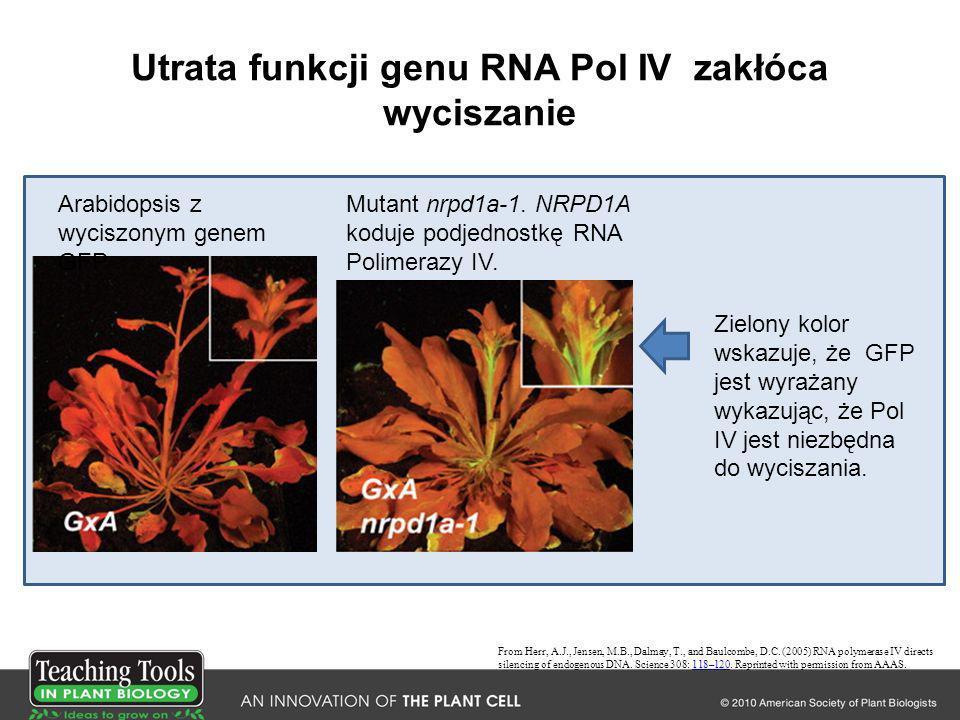 Utrata funkcji genu RNA Pol IV zakłóca wyciszanie From Herr, A.J., Jensen, M.B., Dalmay, T., and Baulcombe, D.C. (2005) RNA polymerase IV directs sile