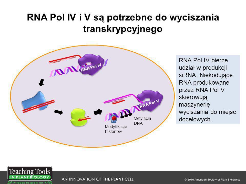 RNA Pol IV i V są potrzebne do wyciszania transkrypcyjnego RNA Pol IV bierze udział w produkcji siRNA. Niekodujące RNA produkowane przez RNA Pol V ski