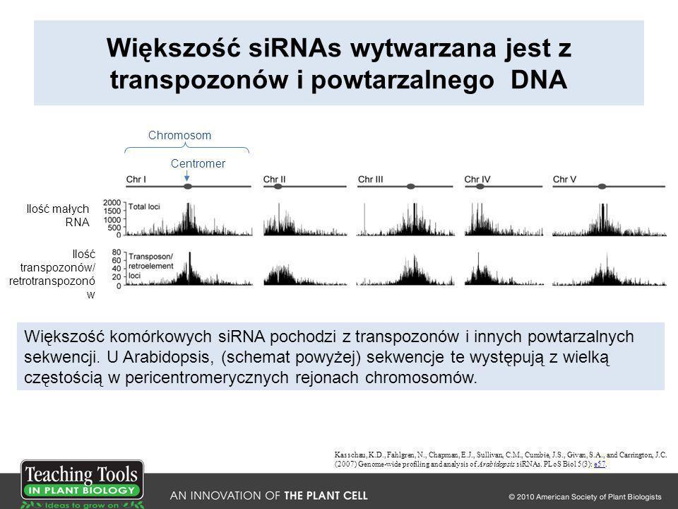 Większość siRNAs wytwarzana jest z transpozonów i powtarzalnego DNA Kasschau, K.D., Fahlgren, N., Chapman, E.J., Sullivan, C.M., Cumbie, J.S., Givan,