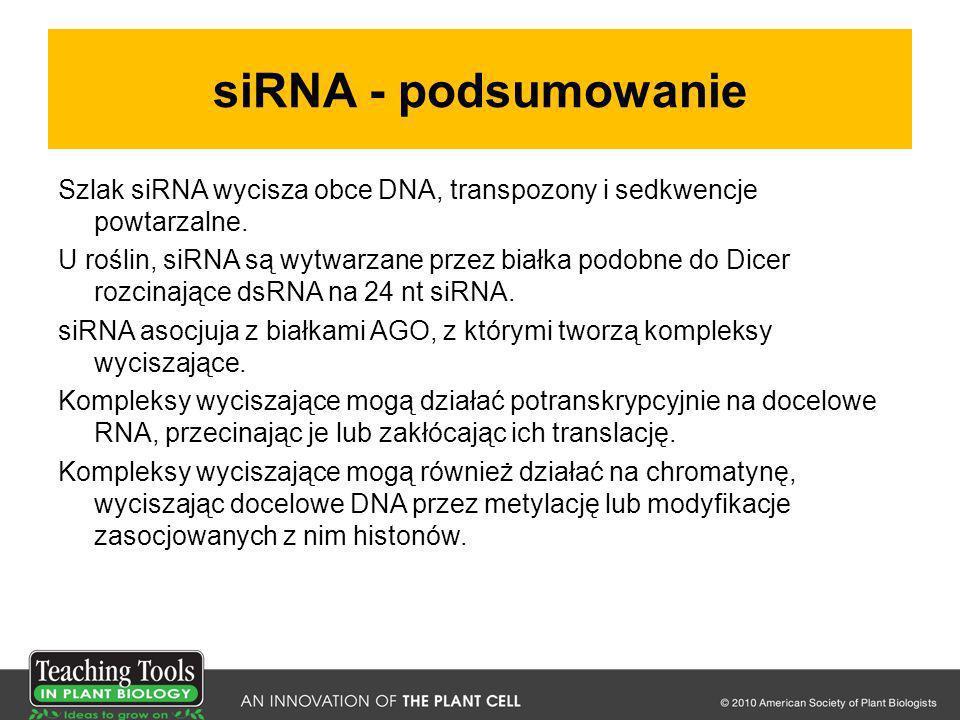 siRNA - podsumowanie Szlak siRNA wycisza obce DNA, transpozony i sedkwencje powtarzalne. U roślin, siRNA są wytwarzane przez białka podobne do Dicer r