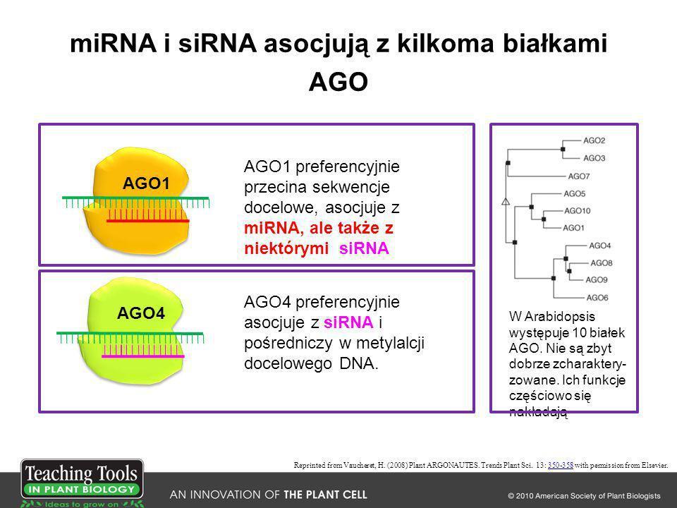 miRNA i siRNA asocjują z kilkoma białkami AGO AGO1 AGO4 AGO1 preferencyjnie przecina sekwencje docelowe, asocjuje z miRNA, ale także z niektórymi siRN