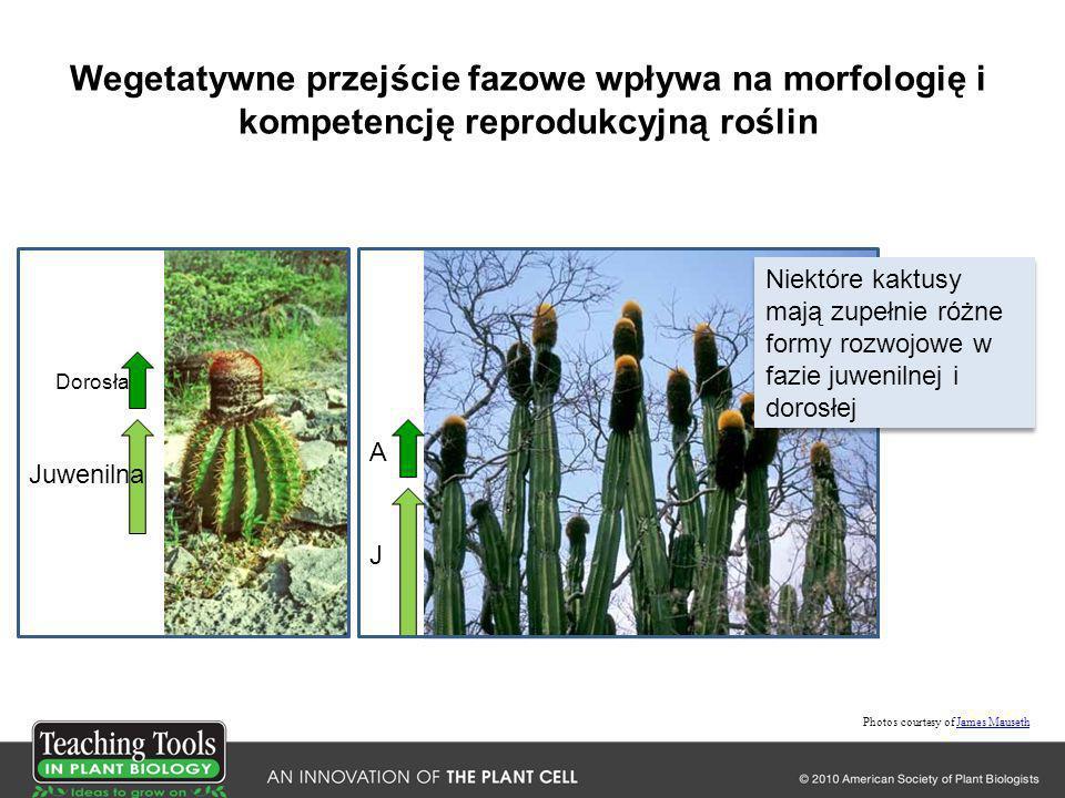 Wegetatywne przejście fazowe wpływa na morfologię i kompetencję reprodukcyjną roślin Photos courtesy of James MausethJames Mauseth Dorosła Juwenilna A