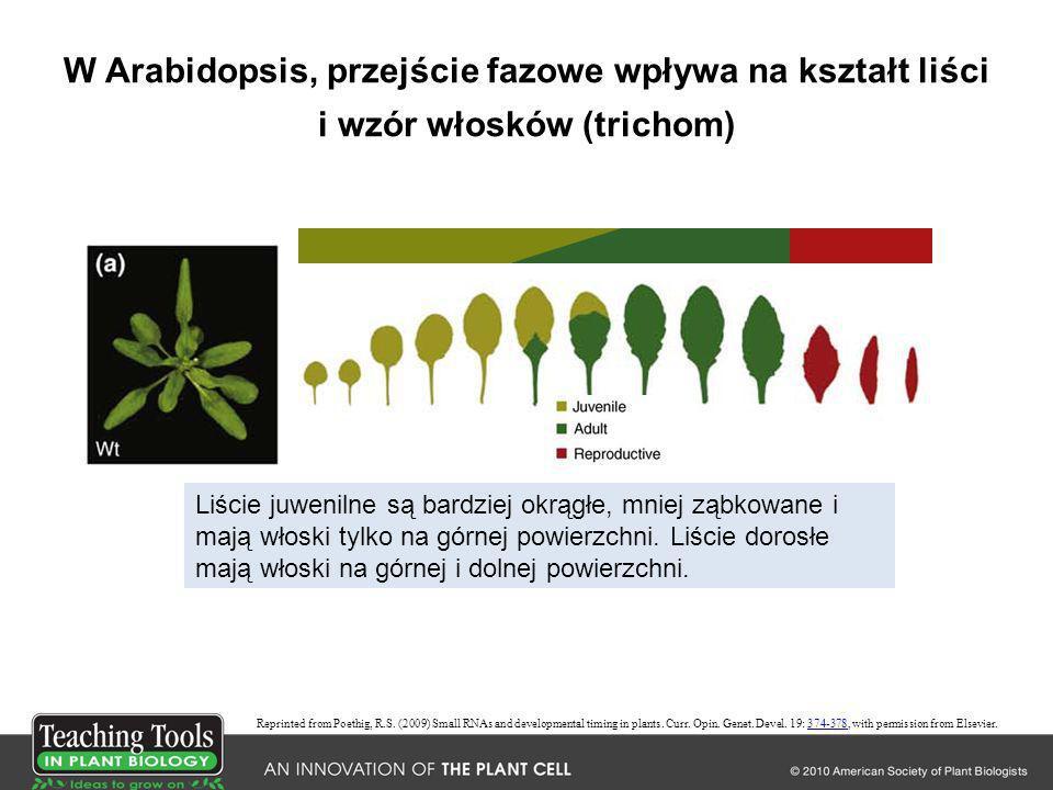 W Arabidopsis, przejście fazowe wpływa na kształt liści i wzór włosków (trichom) Liście juwenilne są bardziej okrągłe, mniej ząbkowane i mają włoski t