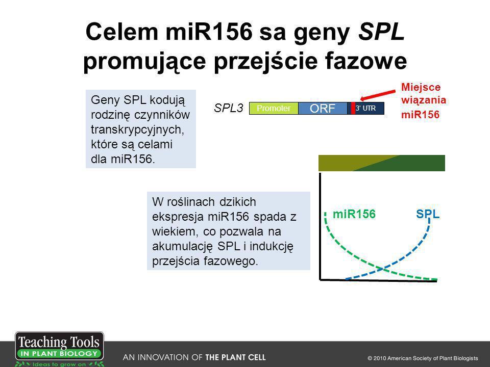 Celem miR156 sa geny SPL promujące przejście fazowe Miejsce wiązania miR156 miR156SPL ORF 3 UTR Promoter SPL3 Geny SPL kodują rodzinę czynników transk