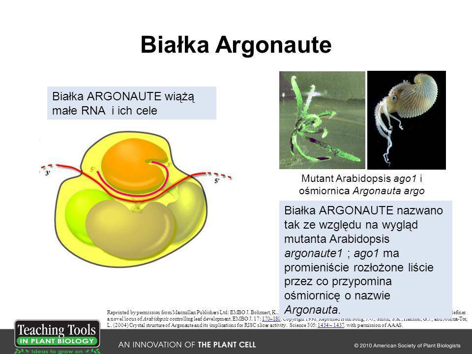 Wyciszanie przez RNA – obraz ogólny DCL MIR gene RNA Pol AAAn AGO AAAn RNA Pol MicroRNA – działa poprzez wyciszanie mRNA i represję translacji mRNA AAAn AGO DCL AGO AAAn AGO RNA Pol AGO siRNA - działa poprzez potranskrypcyjne i transkrypcyjne wyciszanie genów AGO AAAn