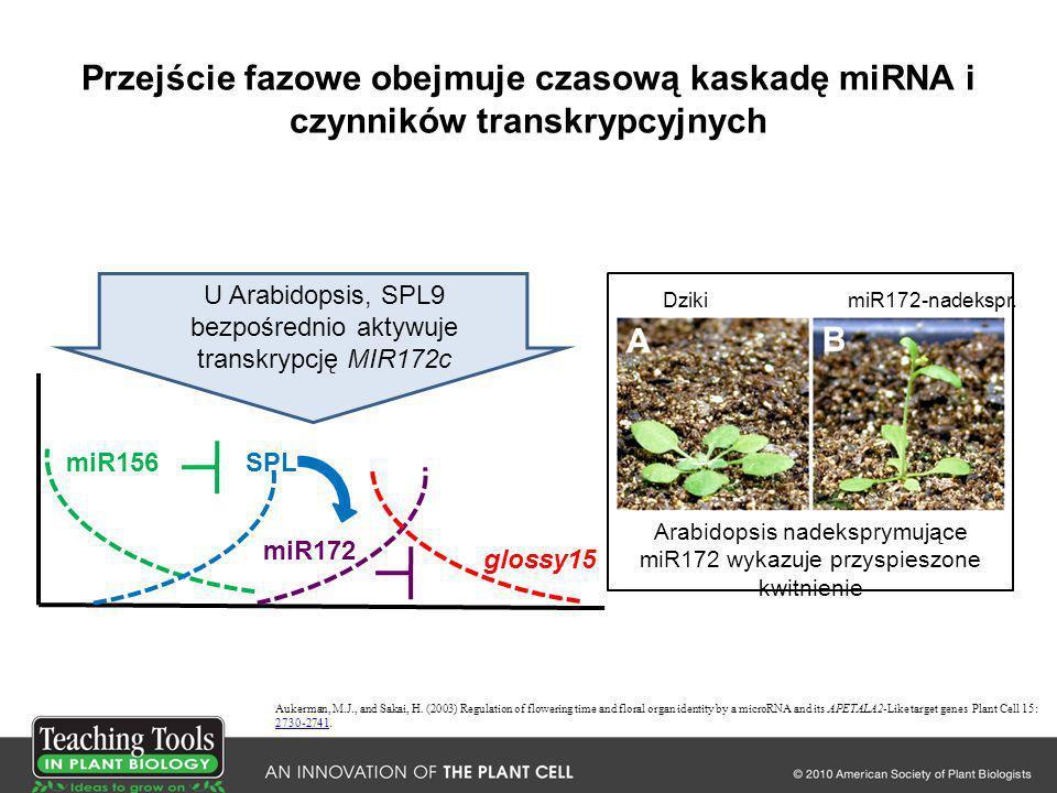 Przejście fazowe obejmuje czasową kaskadę miRNA i czynników transkrypcyjnych miR156SPL miR172 glossy15 Aukerman, M.J., and Sakai, H. (2003) Regulation