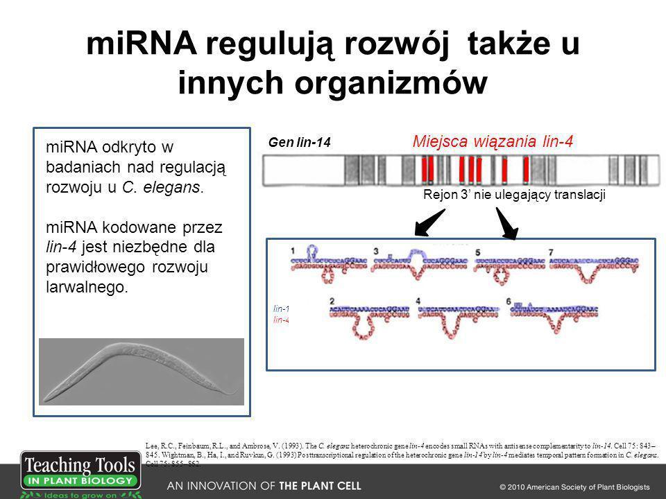 miRNA regulują rozwój także u innych organizmów lin-14 mRNA lin-4 miRNA miRNA odkryto w badaniach nad regulacją rozwoju u C. elegans. miRNA kodowane p