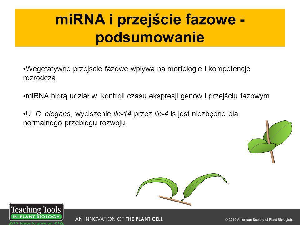 miRNA i przejście fazowe - podsumowanie Wegetatywne przejście fazowe wpływa na morfologie i kompetencje rozrodczą miRNA biorą udział w kontroli czasu