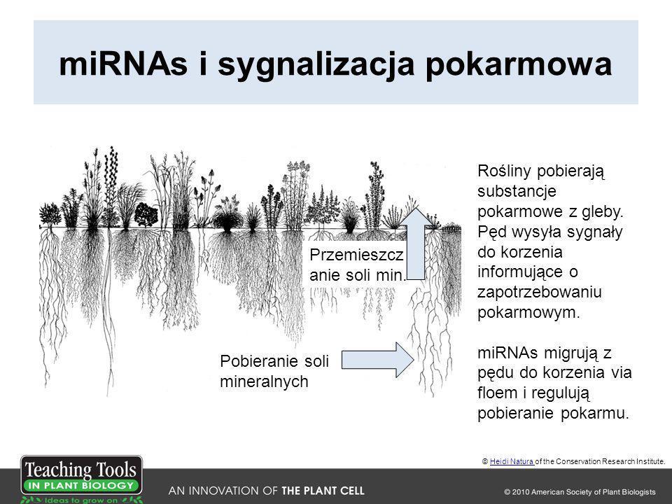 miRNAs i sygnalizacja pokarmowa Rośliny pobierają substancje pokarmowe z gleby. Pęd wysyła sygnały do korzenia informujące o zapotrzebowaniu pokarmowy
