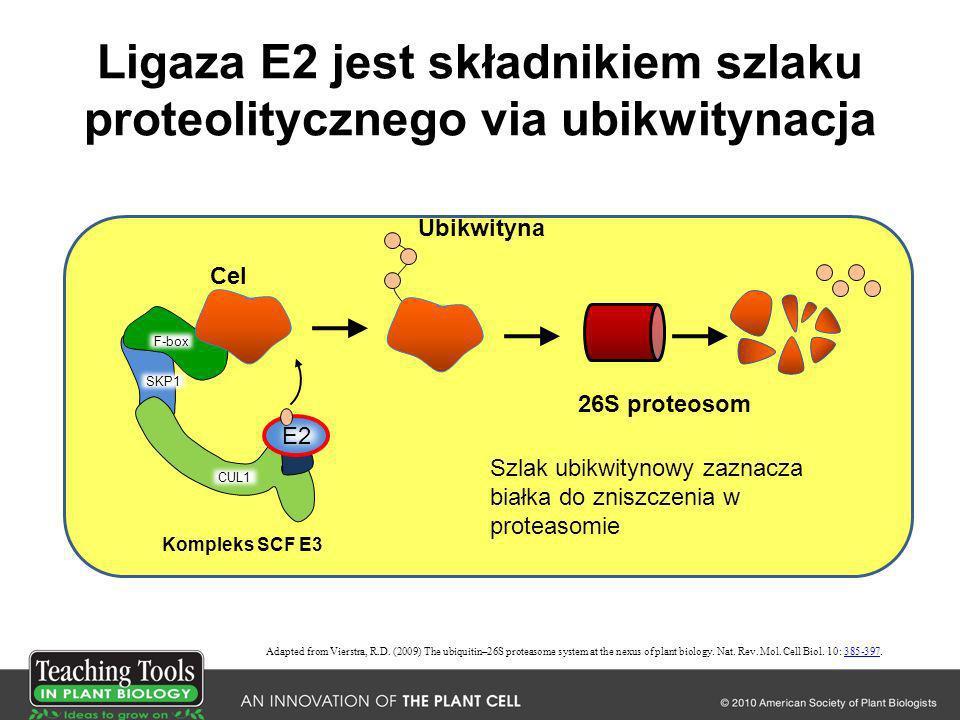 Ligaza E2 jest składnikiem szlaku proteolitycznego via ubikwitynacja Adapted from Vierstra, R.D. (2009) The ubiquitin–26S proteasome system at the nex