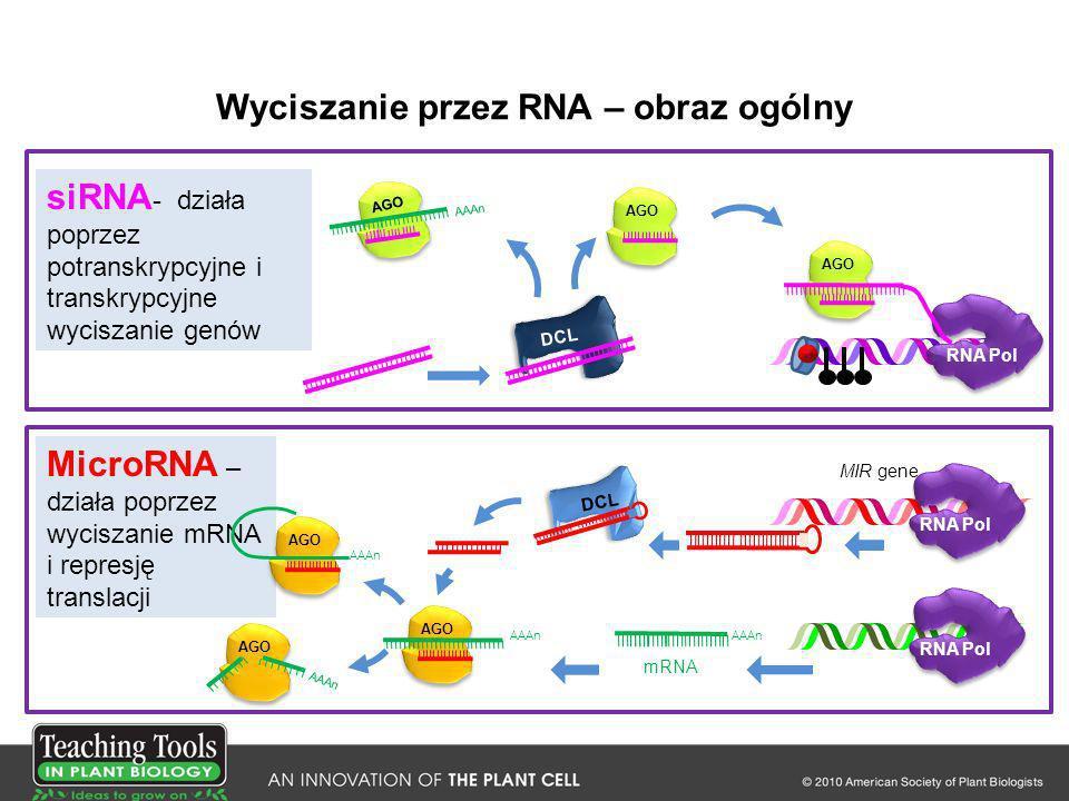 Wyciszanie przez RNA – obraz ogólny DCL MIR gene RNA Pol AAAn AGO AAAn RNA Pol MicroRNA – działa poprzez wyciszanie mRNA i represję translacji mRNA AA