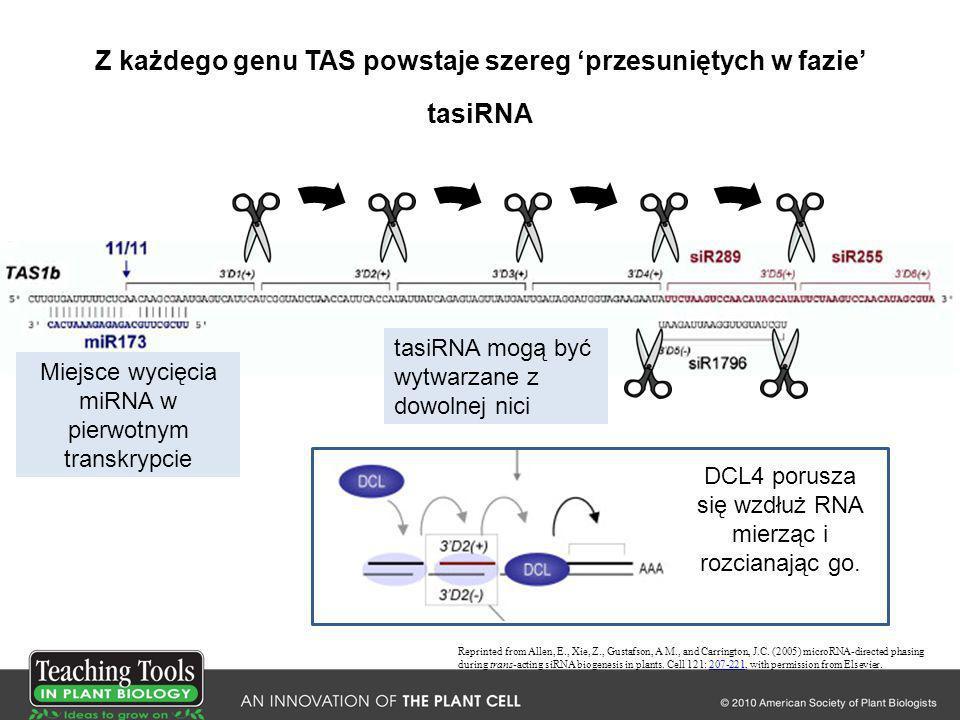 Z każdego genu TAS powstaje szereg przesuniętych w fazie tasiRNA Reprinted from Allen, E., Xie, Z., Gustafson, A M., and Carrington, J.C. (2005) micro