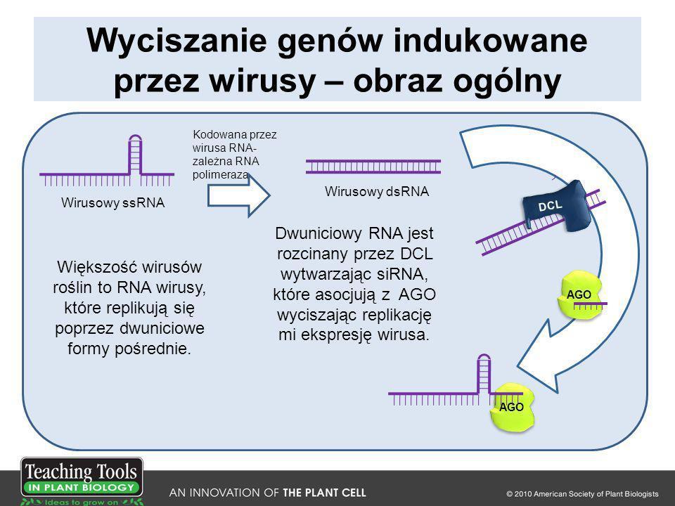 Wyciszanie genów indukowane przez wirusy – obraz ogólny AGO Większość wirusów roślin to RNA wirusy, które replikują się poprzez dwuniciowe formy pośre