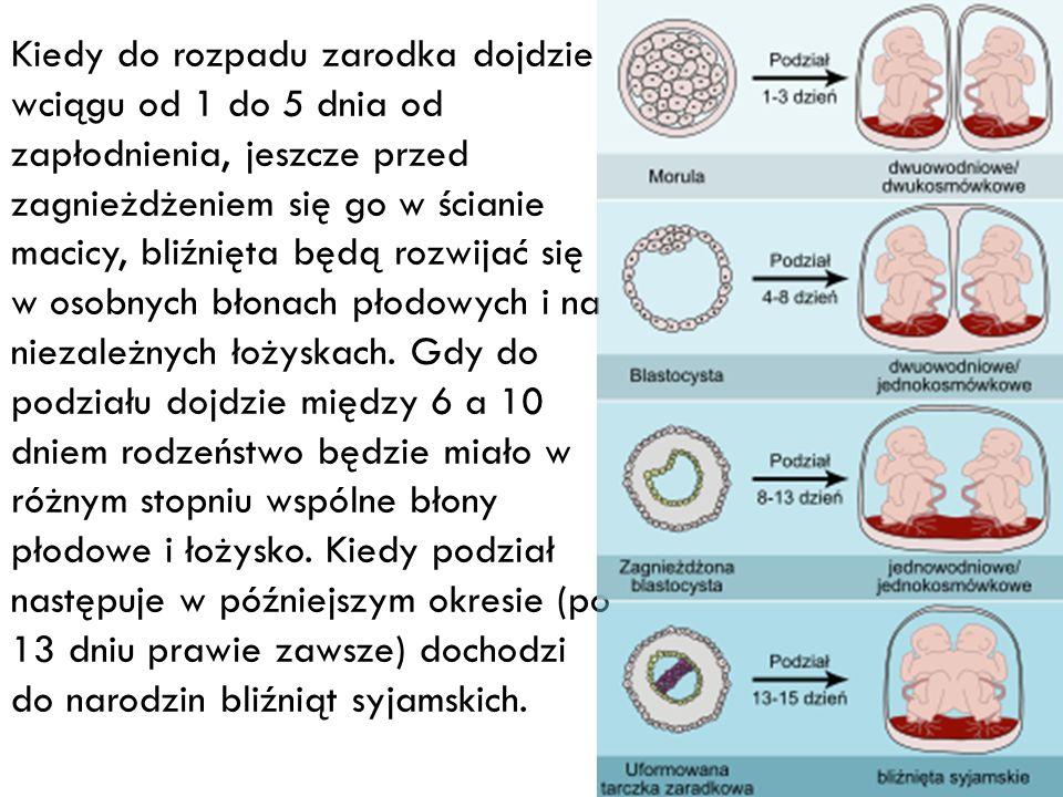 Kiedy do rozpadu zarodka dojdzie wciągu od 1 do 5 dnia od zapłodnienia, jeszcze przed zagnieżdżeniem się go w ścianie macicy, bliźnięta będą rozwijać