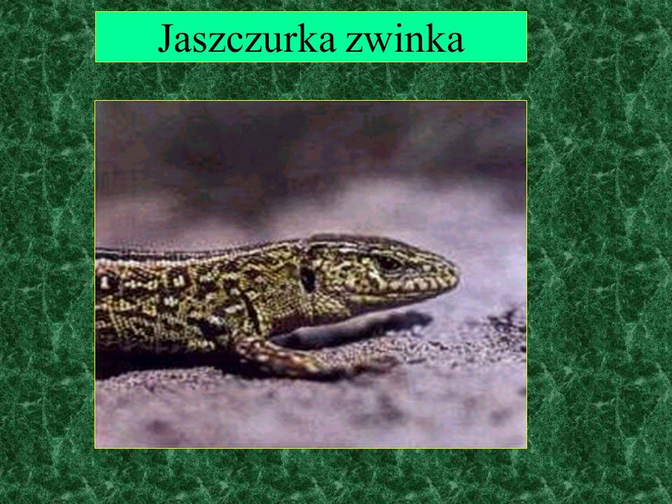 Zwierzęta: konik polski
