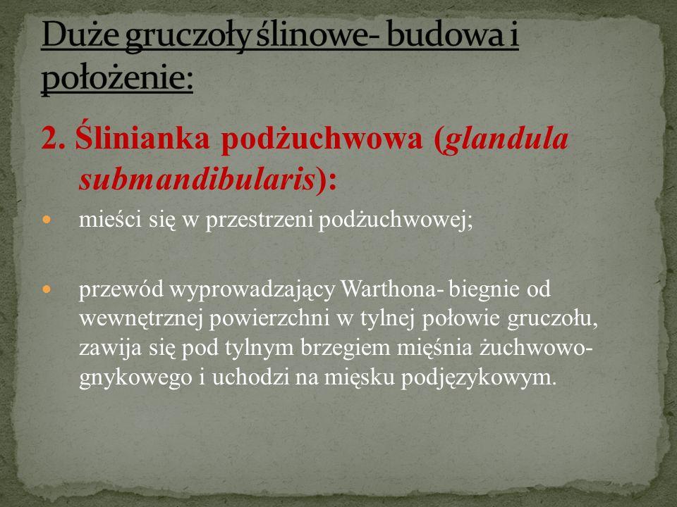 2. Ślinianka podżuchwowa (glandula submandibularis): mieści się w przestrzeni podżuchwowej; przewód wyprowadzający Warthona- biegnie od wewnętrznej po