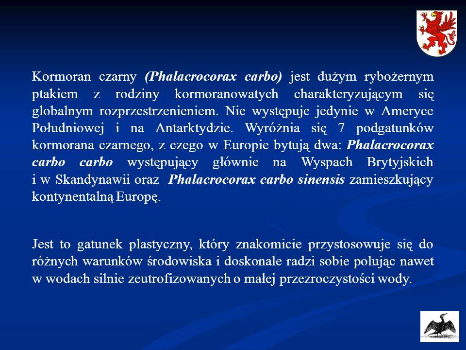 Największa kolonia kormoranów w Polsce znajduje się na Mierzei Wiślanej w okolicach Kątów Rybackich i w chwili obecnej szacowana jest na ok.