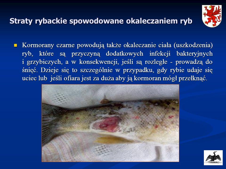 Straty rybackie spowodowane okaleczaniem ryb Kormorany czarne powodują także okaleczanie ciała (uszkodzenia) ryb, które są przyczyną dodatkowych infek