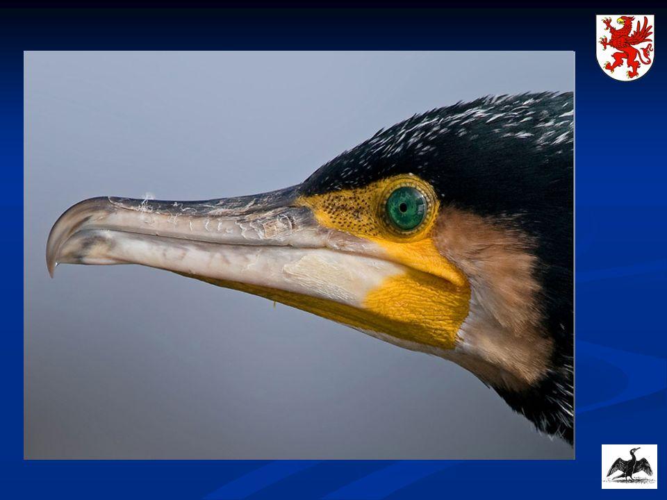 Norwegia - gatunek kormorana włączony jest do narodowego programu monitorującego ptaki morskie.