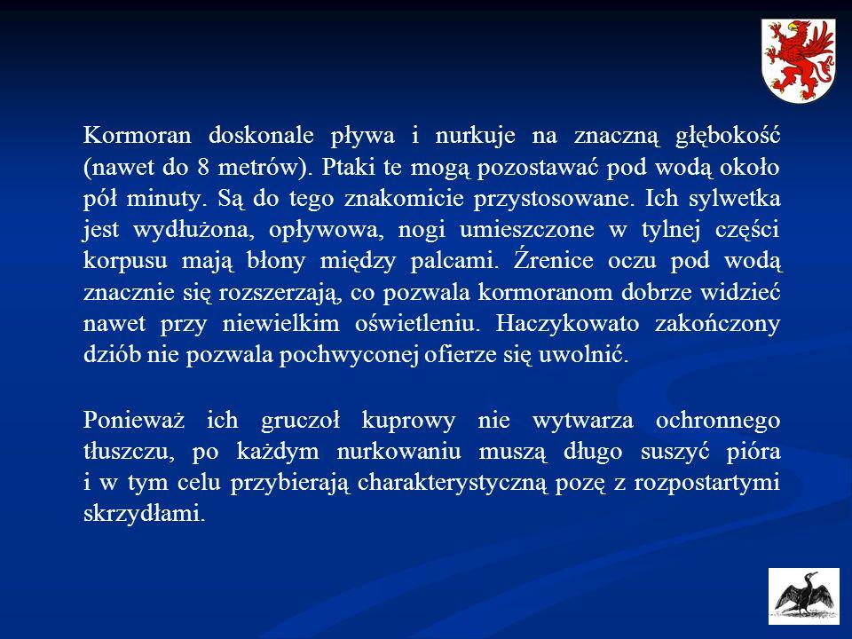 Głównymi miejscami bytowania kormoranów czarnych na Pomorzu Zachodnim są m.in.: Zatoka Pomorska, Zalew Szczeciński z Deltą Świny (wyspa Uznam), Zalew Kamieński, jezioro Dąbie, jezioro Miedwie, odstojniki Zakładów Chemicznych Police, obszar Międzyodrza (rzeka Odra Wschodnia, Zachodnia i Regalica), Rozlewisko Kostrzyneckie, Bielinek (zbiornik po wyrobisku żwiru), rzeka Ina, rzeka Dziwna, stawy rybne w Dzwonowie oraz większe jeziora Pojezierza Drawskiego i Wałeckiego.