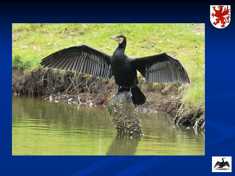 Szacunkowa liczebność kormoranów czarnych na Pomorzu Zachodnim Kormorany były uwzględniane w corocznych wynikach liczeń w ramach programu Ptaki wodno-błotne na Pomorzu Zachodnim.
