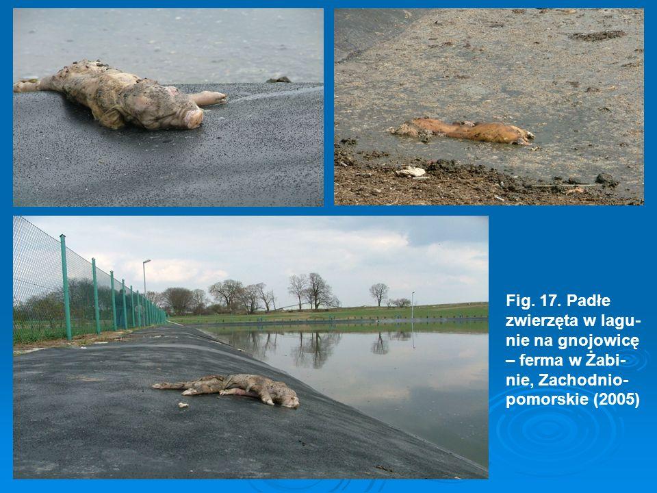 Fig. 17. Padłe zwierzęta w lagu- nie na gnojowicę – ferma w Żabi- nie, Zachodnio- pomorskie (2005)