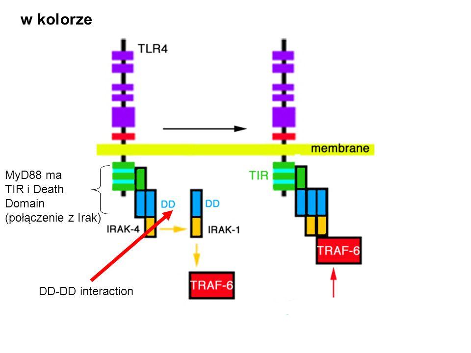 w kolorze MyD88 ma TIR i Death Domain (połączenie z Irak) DD-DD interaction