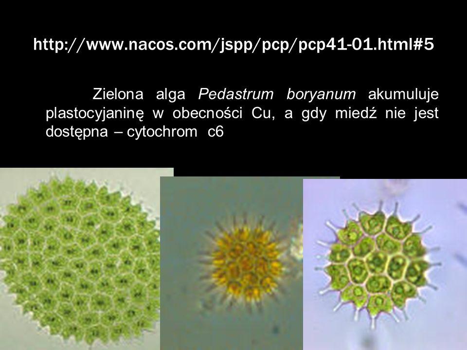 http://www.nacos.com/jspp/pcp/pcp41-01.html#5 Zielona alga Pedastrum boryanum akumuluje plastocyjaninę w obecności Cu, a gdy miedź nie jest dostępna –