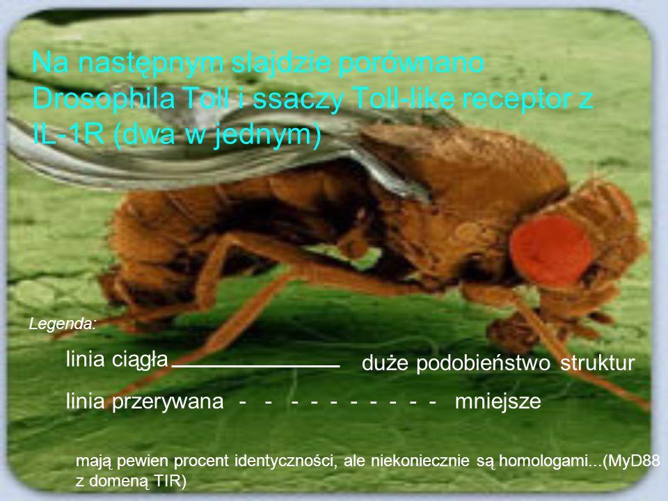 Na następnym slajdzie porównano Drosophila Toll i ssaczy Toll-like receptor z IL-1R (dwa w jednym) linia ciągła duże podobieństwo struktur linia przer