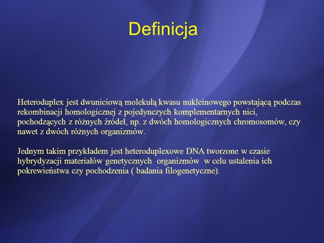 Definicja Heteroduplex jest dwuniciową molekułą kwasu nukleinowego powstającą podczas rekombinacji homologicznej z pojedynczych komplementarnych nici,