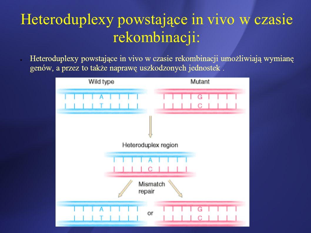 Heteroduplexy powstające in vivo w czasie rekombinacji: Heteroduplexy powstające in vivo w czasie rekombinacji umożliwiają wymianę genów, a przez to t