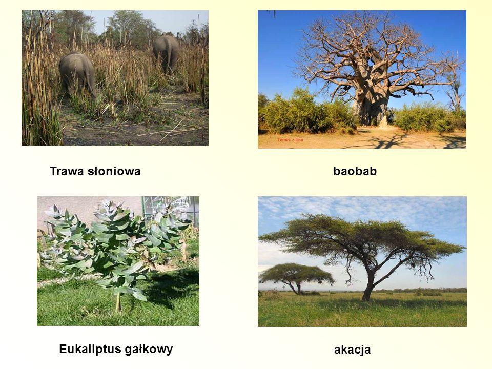 Eukaliptus gałkowy Trawa słoniowa baobab akacja
