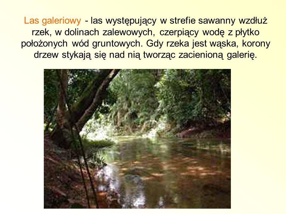 Las galeriowy - las występujący w strefie sawanny wzdłuż rzek, w dolinach zalewowych, czerpiący wodę z płytko położonych wód gruntowych. Gdy rzeka jes