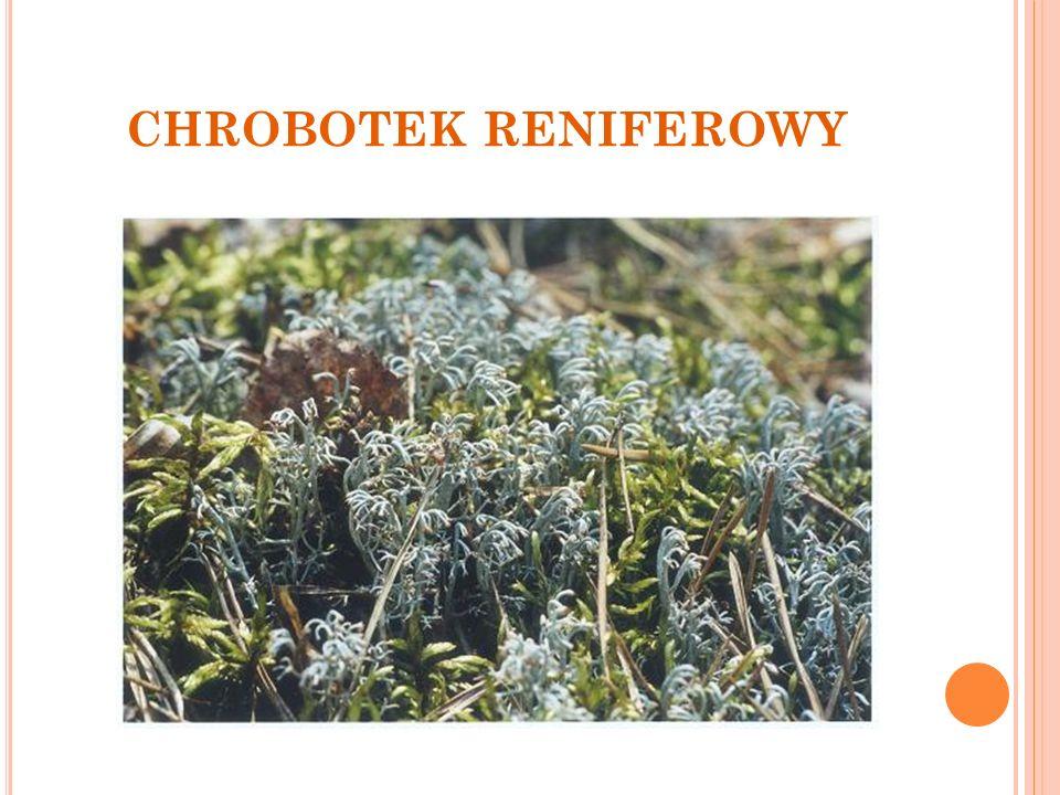 CHROBOTEK RENIFEROWY