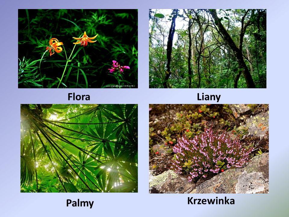 FloraLiany Palmy Krzewinka