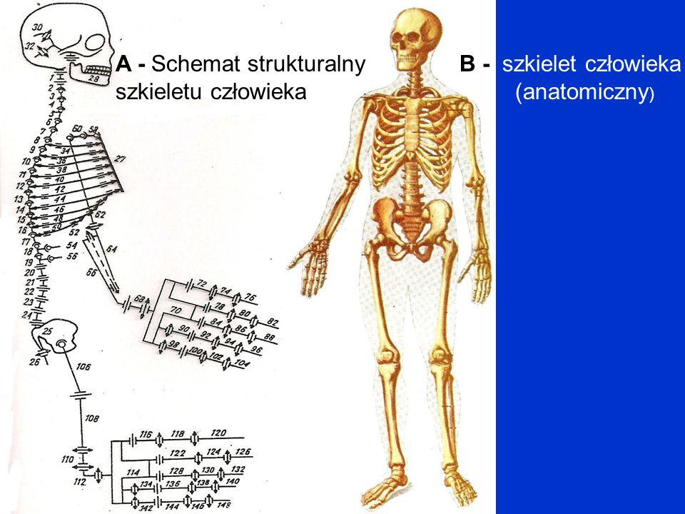 A - Schemat strukturalny szkieletu człowieka B - szkielet człowieka (anatomiczny )
