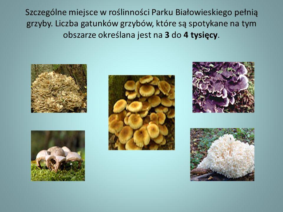 Szczególne miejsce w roślinności Parku Białowieskiego pełnią grzyby. Liczba gatunków grzybów, które są spotykane na tym obszarze określana jest na 3 d