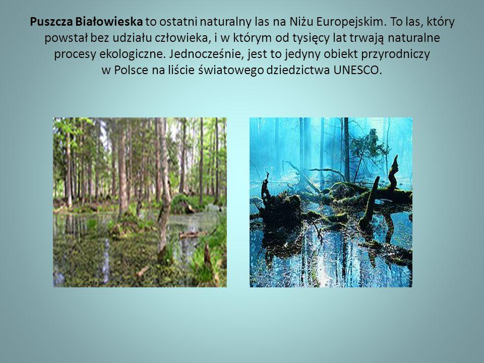 Rezerwat Pokazowy Żubrów Wiosną 1919 roku ostatni żubr Puszczy Białowieskiej zdechł.