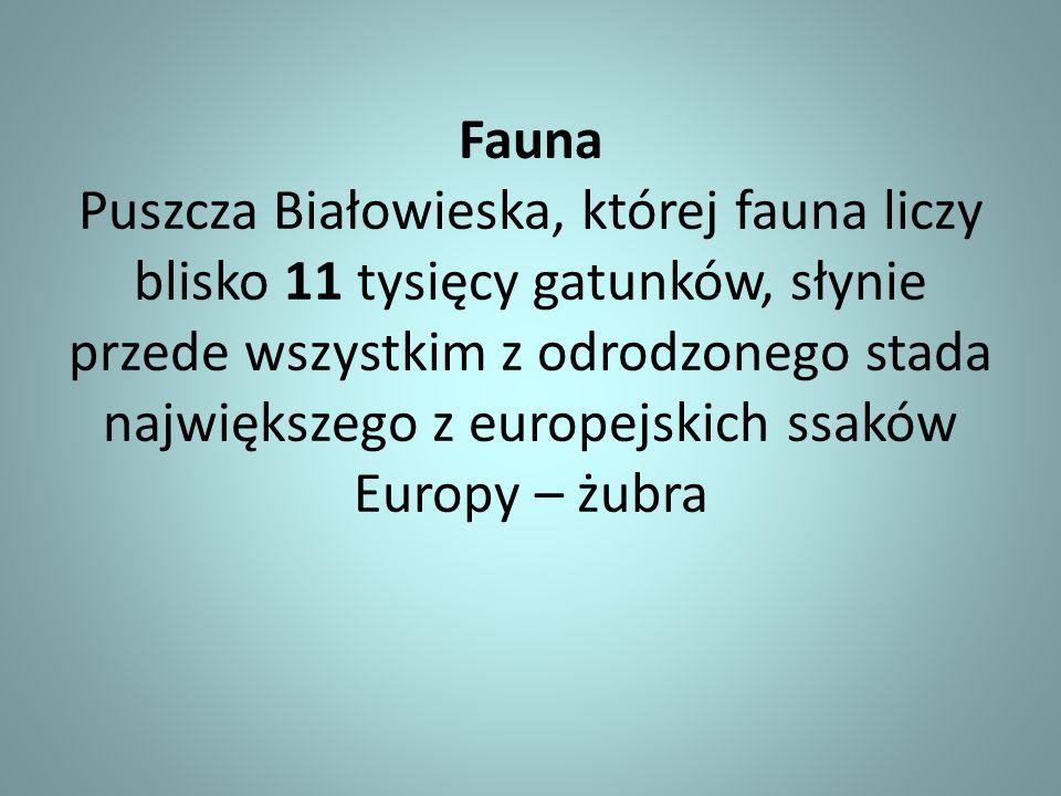 Fauna Puszcza Białowieska, której fauna liczy blisko 11 tysięcy gatunków, słynie przede wszystkim z odrodzonego stada największego z europejskich ssak