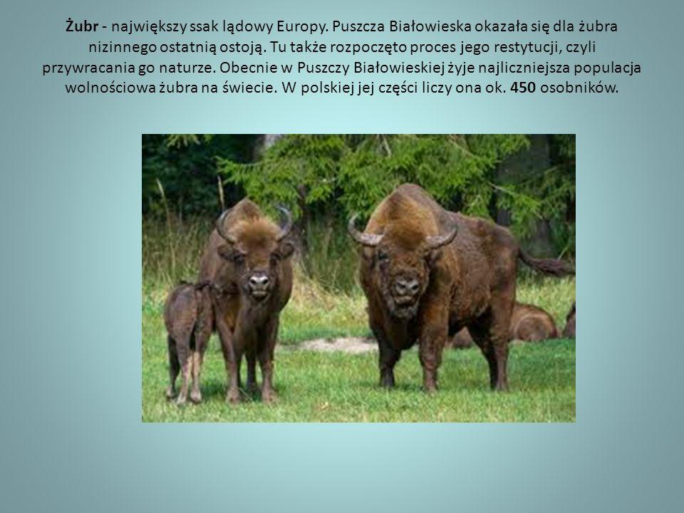 Żubr - największy ssak lądowy Europy. Puszcza Białowieska okazała się dla żubra nizinnego ostatnią ostoją. Tu także rozpoczęto proces jego restytucji,