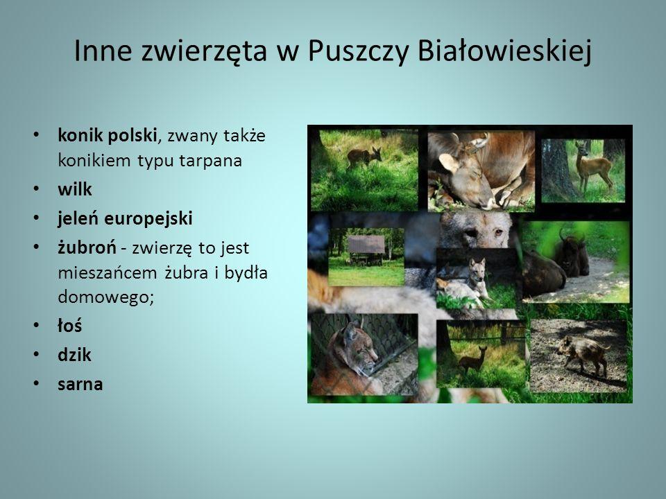 Inne zwierzęta w Puszczy Białowieskiej konik polski, zwany także konikiem typu tarpana wilk jeleń europejski żubroń - zwierzę to jest mieszańcem żubra