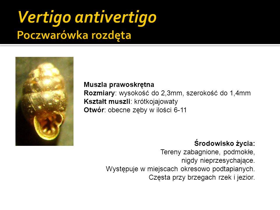 Gatunek z Załącznika II Dyrektywy Siedliskowej UE Muszla prawoskrętna Rozmiary: wysokość do 2,7mm, szerokość do 1,6mm Kształt muszli: jajowaty Wygląd ostatniego skrętu: kallus, możliwe zgrubienie karkowe Otwór: obecne zęby w ilości 4-8 Środowisko życia: Tereny zabagnione, podmokłe, nigdy nieprzesychające.